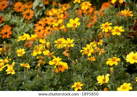 Sunlit Yellow and Orange Flowers - stock photo