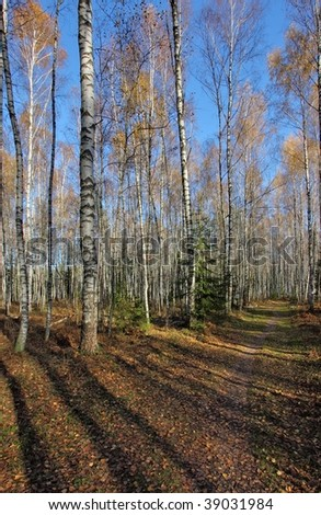 Sunny autumn forest scenery. White birches. Blue sky. Shadows from the low sun.