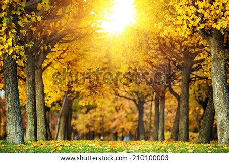 Sunny autumn park background. Alley in the park with trees covered in bright orange and yellow leaves.