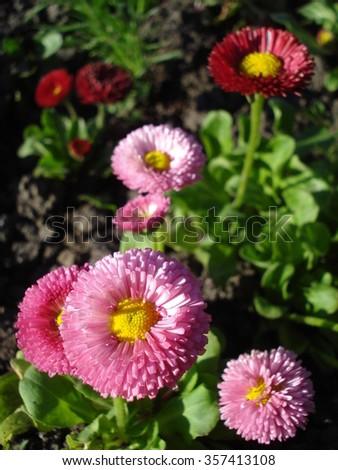 Sunny bellis perennis flowers in the garden - stock photo