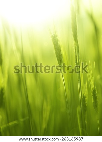 Sunny blurred yellow green spring barley field abstract background. Selective focus used.