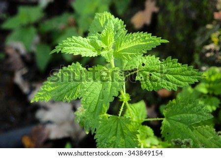Sunny branch plant nature nettle - stock photo