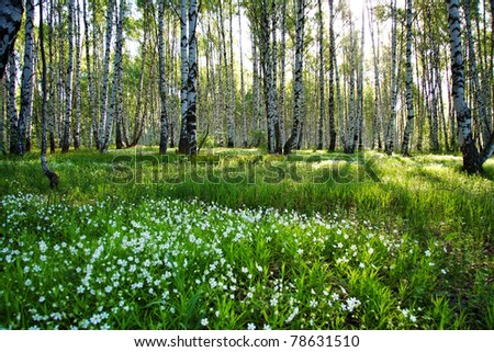Sunny camomile glade in birch forest - stock photo