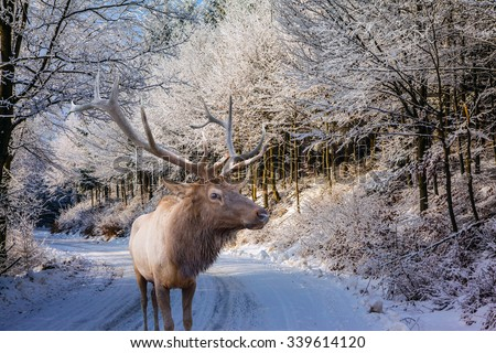 Sunny day at Christmas. The snow-covered road in the northern wood. The red deer with branchy horns costs on a skiing run - stock photo