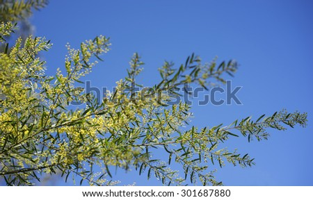 Sunny day background Australian yellow golden wattle Acacia fimbriata against blue sky - stock photo