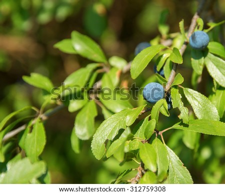 sunny detail of a blackthorn plant with blue berries in natural ambiance - stock photo
