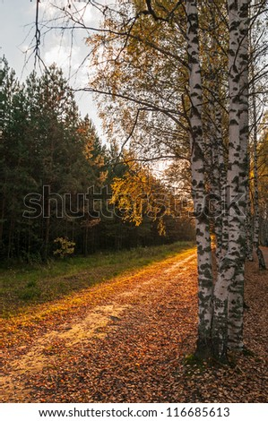 Sunny dirty road between avenue of high birches and fir wood
