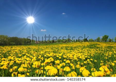 Sunny flower field - dandelions on a meadow - stock photo