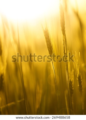 Sunny golden color with flare blurred barley field. Selective focus used. Lovely sunny countryside summer season barley field. - stock photo