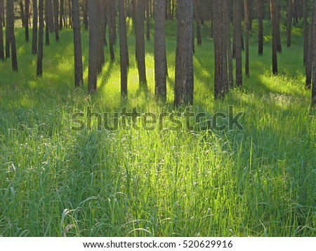 Sunny green glade in pine forest in wild nature