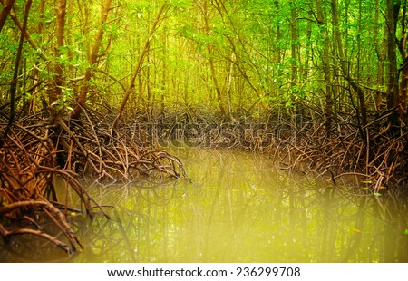 Sunny mangroves trees in water at low tide  - stock photo