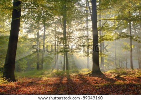 Sunny morning in old beech forest. September.Central Poland.