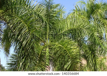 Sunny palm fronds against a blue sky background