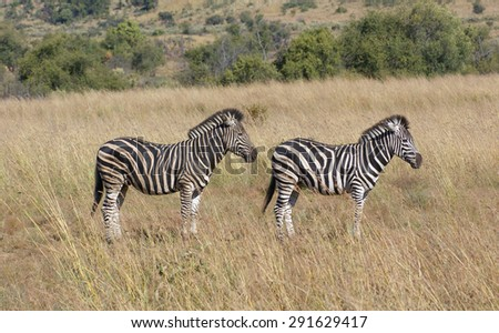 sunny savanna scenery with zebras in Botswana, Africa