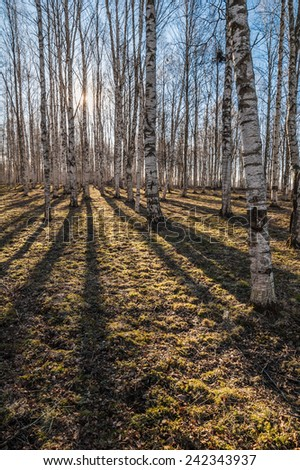Sunny spring morning in birch forest