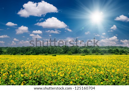 sunny summer landscape. sunflower field and sky. - stock photo