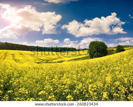 Sunny summer morning in the field of blossoming colza  - stock photo