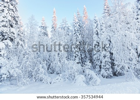 Sunny summits of the trees in a snow covered forest in Ruka village in Finland on the Arctic pole circle in winter