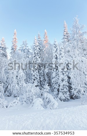 Sunny tops of the trees in a snow covered forest in Ruka village in Finland on the Arctic pole circle in winter