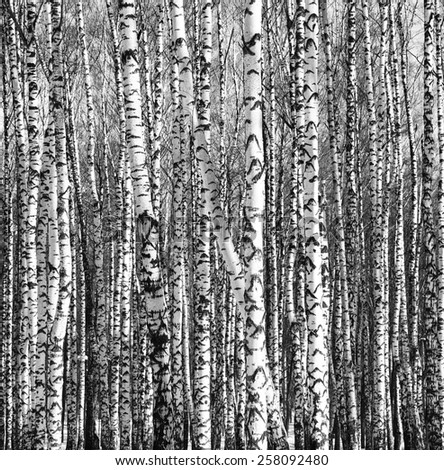 Sunny trunks of birch trees black and white