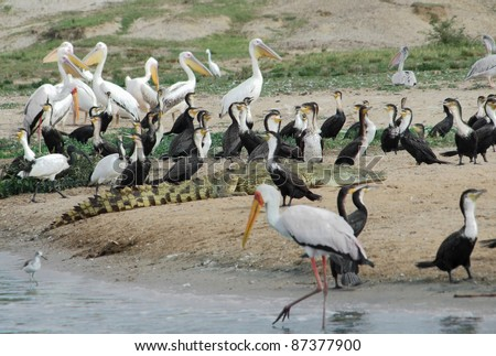 sunny waterside scenery with lots of birds in Uganda (Africa)