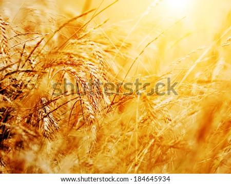 Sunny wheat field close-up. Agriculture background, golden sunset - stock photo