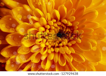 Sunny yellow chrysanthemum background, bright and fun
