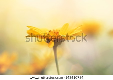 sunny yellow daisy at summer morning - stock photo