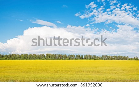 Sunny yellow field of blossoming Rapeseed (Brassica napus) before tree line against blue sky background. Ryazhsky district, Ryazansky region, Russia.   - stock photo