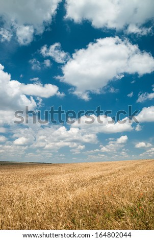 Sunny yellow wheat field and blue sky