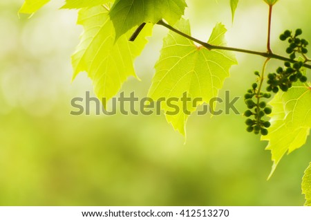 Sunny young green vine spring  leaves, natural eco background  - stock photo