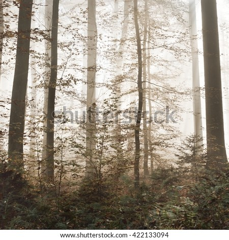 Sunrays in mysterious morning fog in a beautiful beech tree forest. Heidelberg, Germany - stock photo