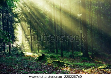 Sunrays reaching through the Fir Trees in the Morning after heavy Rain - stock photo