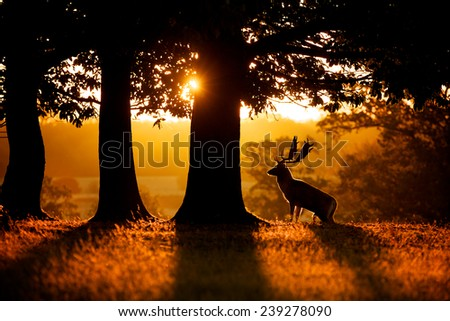 sunrise, a fallow deer buck rising up to the morning sunrise, silhouette - stock photo
