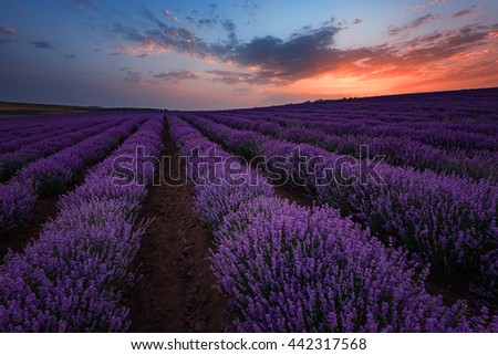 Sunrise at lavender field, near Burgas city, Bulgaria - stock photo