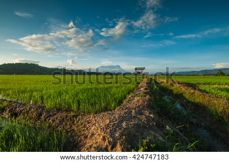 Sunrise at Sangkir Kota Belud Paddy Field. Mount Kinabalu the highest Mount in South East Asia as a background. Image contain some blur and soft focus area.
