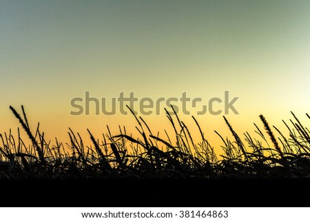 Sunrise behind the corn creates nice silhouette.