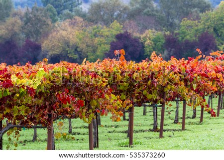 sunrise in a colorful vineyard in Calistoga California due to seasonal changes in autumn