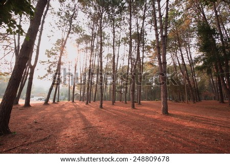 Sunrise in a forest, sunbeams through the trees - stock photo