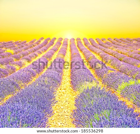 Sunrise in a lavender field - stock photo