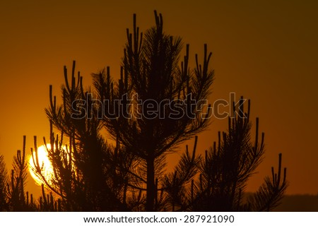 Sunrise in a pine tree forest soft focus - stock photo