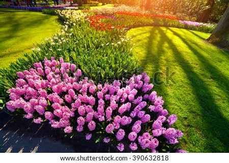 Sunrise in Keukenhof gardens. Beautiful outdoor scenery with red tulips in the in Netherlands, Europe. Wide angle view. - stock photo