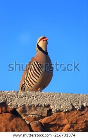 Sunrise light on Chukar Partridge bird on a brick fence - stock photo