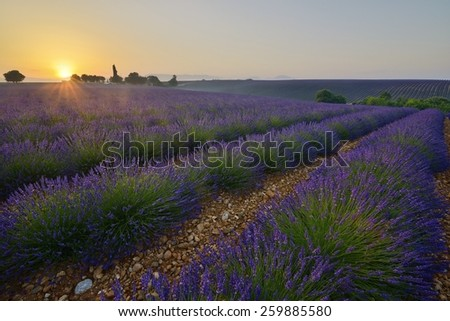 Sunrise on a lavender field in Provence  - stock photo