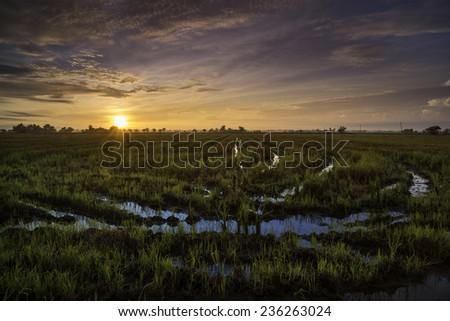 sunrise on paddy rice field - stock photo