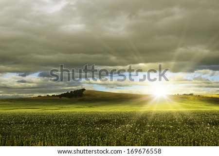 Sunrise over an opium poppy meadow - stock photo