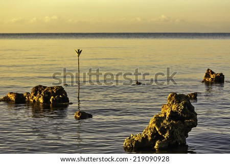 Sunrise over dead corals and mangrove seedling - stock photo