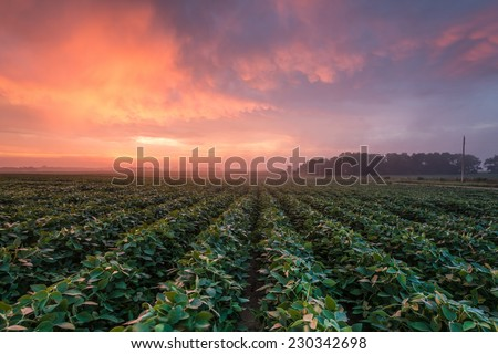 Sunrise over soybean field - stock photo