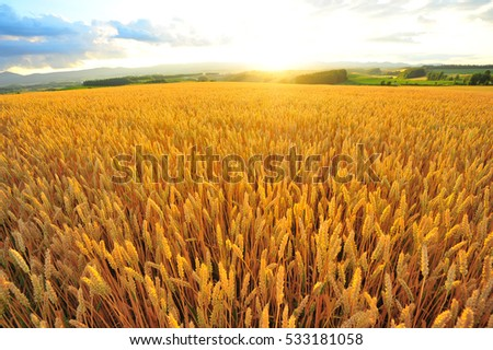 Sunrise Over The Barley Field