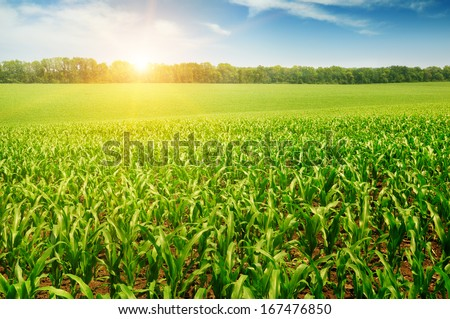 sunrise over the corn field - stock photo